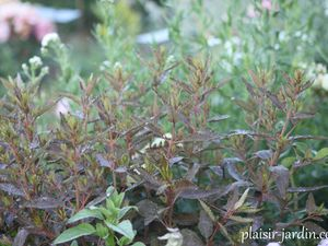 L'Haloragis erecta 'Wellington bronze'