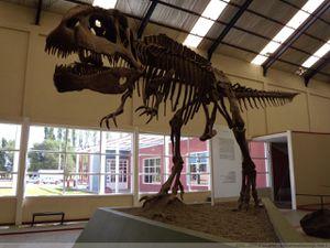 Squelette de Giganotosaurus - doc. musée Bachmann de Villa El Chocon