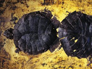 Messel Pit Fossil - left, prehistoric crocodile discovered by miners in 1875 - photo Berthold Steinhilber - right, sweet water turtles - photo Jonathan Blair / Corbis / Smithsonian - a clic to enlarge
