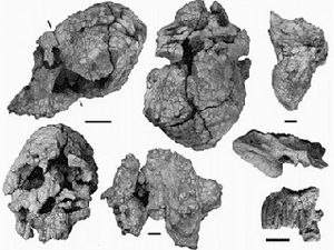Cranial remains of Kenyanthropus and reconstitution of the bust - -doc. Hominids