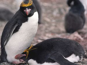 To the left, Chinstrap / photo BAS - to the right, Macaroni Penguin / Jerzy Strzelecki picture - a click to enlarge.