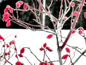 Fruits du rosier sauvage