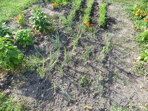 Oignons à gauche (bientôt la récolte) et carottes à droite (éclaircies et butées))