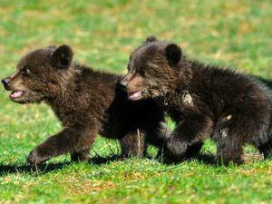 Les oursons sauvés Masha et Brundo...