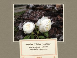 Rosiers anglais, 'Claire Austin', 'Golden Celebration', 'Heritage', 'The Generous Gardener'