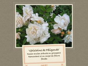 Rosiers hybrides de multiflora, ' Ghislaine de Féligonde', 'Veilchenblau'