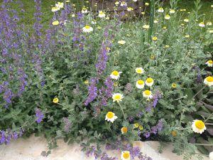 3 juin - Anthemis tinctoria 'Sauce Hollandaise'