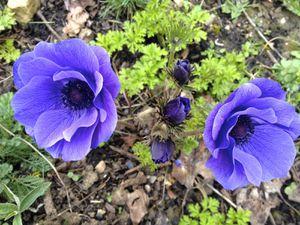 Anémone Mr Fokker - Floraison dès le 1er mars. Nous sommes mi-avril, elles sont encore très belles !