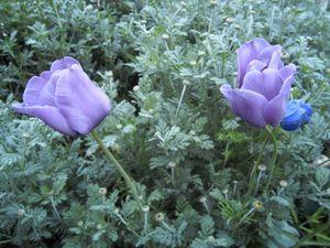 29 avril -Tulipe 'Bleu aimable', bien moins bleue que sur la photo de Dutch Garden. Petite déception...