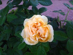 Rosier 'Amber Queen' - photos de juillet et décembre !