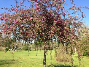 Malus 'Evereste' - 13 avril