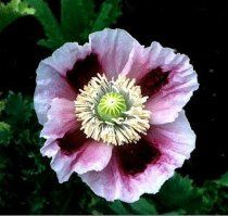 "Papaver somniferum ""Hens and Chicks"""