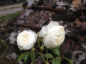 Rosier 'Claire Austin' encore en fleur au 18 novembre !