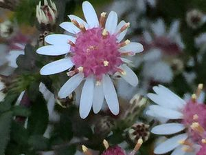 Aster lateriflorus 'Lady in black' et Vernonia crinita 'Mammuth'