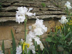 Seringat et Rosier 'Golden Celebration' - Iris germanica et iris pseudacorus - Hydrangea 'Annabelle' et Verges d'or - Rosier 'Penelope' et lysimaques
