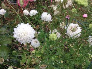 Scabiosa 'Beaujolais Bonnets' et 'Ivory', Anisontodea et Prunella grandiflora