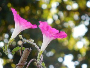 Rosier 'Seagull' et Ipomaea purpurea rose