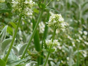Hesperis matronalis - Centranthus ruber albus -  Salvia sclarea - Stipa tenuissima