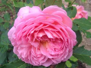 'Jubilee Celebration' et 'The Alnwick Rose'