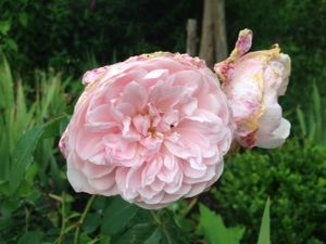 'Wisley' - 'The Mayflower' -
