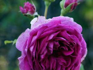 'Mary Rose' - 'Young Lycidas'