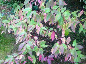 Secteur sud du Jardin de Frescati : Cornus kousa, C. sanguineus panaché, C. sanguineus