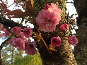 Secteur sud-ouest : Cerisier (Prunus serrulata 'Kanzan')