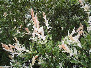 Secteur sud-ouest du Jardin de Frescati : saules crevettes 'Hakuro Nishiki'