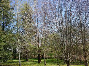 Secteur sud-est du jardin de Frescati : cerisier de Sainte-Lucie