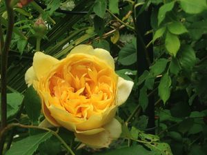 'Golden celebration' - 'Sombreuil'