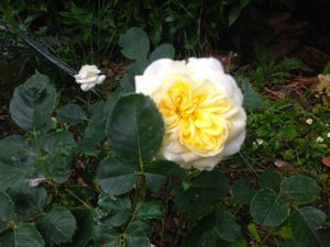 'Pacific dream' - 'Mary Rose' - 'Veilchenblau' - 'Daniel mon ami' - 'Mystery Yellow'
