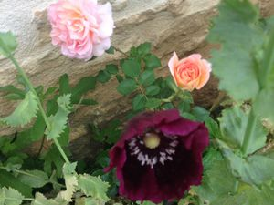 Pavots doubles et pavots 'Dark plum' issus du Seeds of love (Maryline, Sylvie)