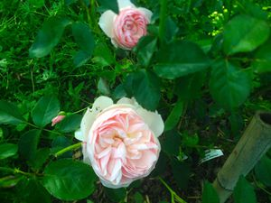 'Aspirin rose' - 'Colette' - 'The Fairy' - 'Isabelle et le magicien d'Oz'