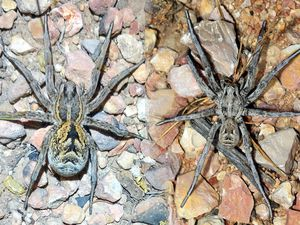 Un mâle à droite et femelle à gauche. Photos François Grimal.