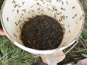 La récolte et une mouche soldate noire / The harvest and a black soldier fly