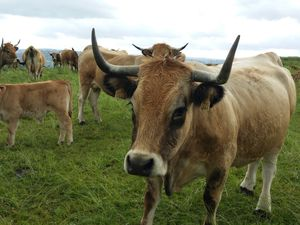 De beaux chemins, des belles fleurs et de belles vaches de race Aubrac.