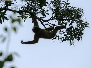 Thaïlande - Gibbons à mains blanches