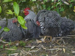 9: Mes poules naines