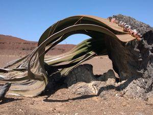 Quelques beaux spécimens de Welwitschia Mirabilis le long de la C39