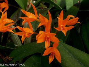 cattleya aurantiaca     -                           Cattleya skinneri