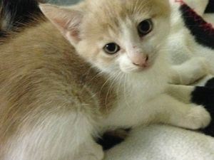 ADOPTION CHATONS - FRATRIE DE 4 CHATONS