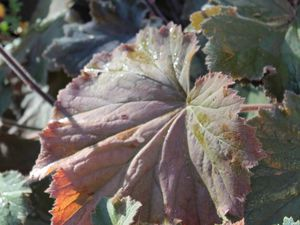 Heuchera villosa &quot&#x3B;Bronze beauty&quot&#x3B;