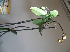 """nouvelles petites orchidées sur les hampes florale de l'orchidée """"mère"""""""