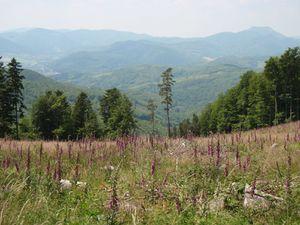 Jolie vue sur le Climont, l'Ungersberg, et les champs de digitales pourpres ...