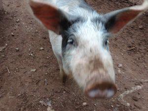 Dans la vallée, rencontre insolite avec des cochons et des citrouilles ...