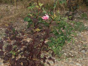 Mai 2015 : gaura, rosier, boule de neige, le rosier de ma grand-mère, pommier everest et rose trémière, physocarpus et rosier