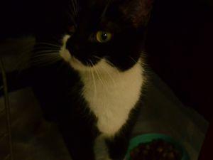Adoptée : ELENA, petite chatte stérilisée noir &amp&#x3B; blanc de 2 ans