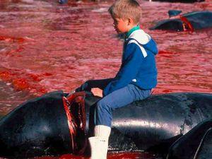 Iles Feroe - trois bateaux de Sea Shepherd France saisis et 14 activistes arrêtés par les Danois