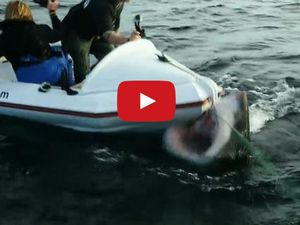 VIDEO - un grand requin blanc s'attaque au bateau de journalistes venus le filmer