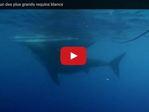 VIDEO - le plus grand requin du monde filmé au Mexique